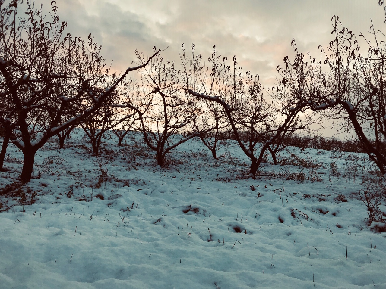 Vergers sous la neige